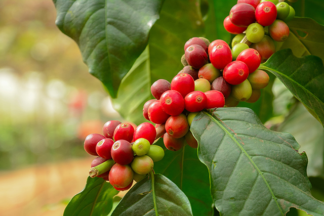 coffee plants grow better without chemicals healthy soil has